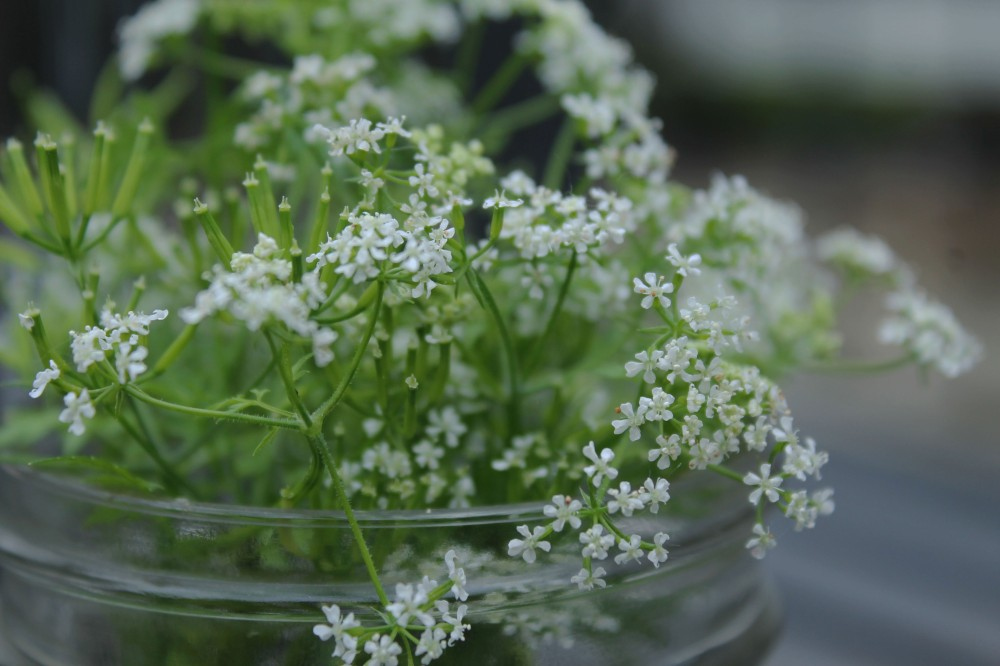 IMG_1248-chervil-beneficial